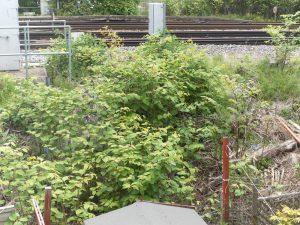 Japanese knotweed network rail